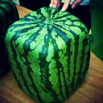 Square watermelons! Genius!